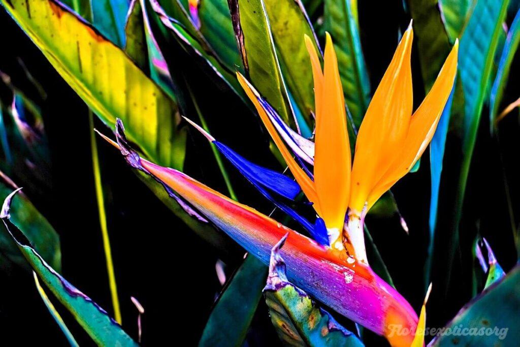Ave-del-Paraiso flor rara
