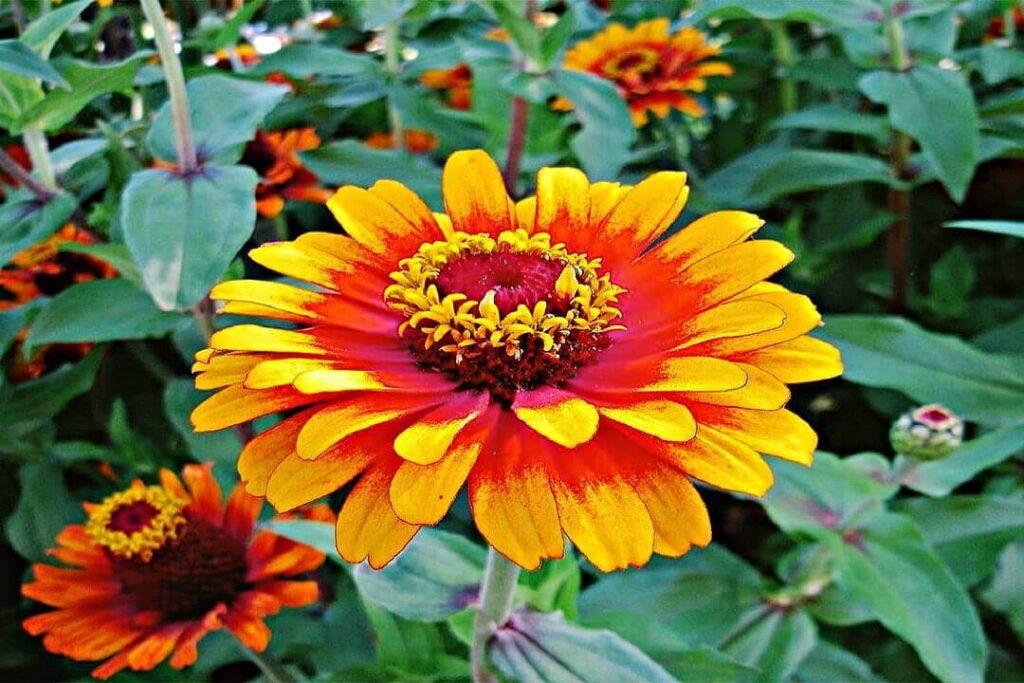 Zinnia rara flor