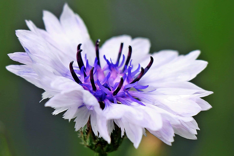 aciano-blanco flor exotica
