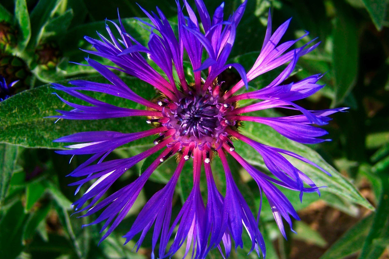 aciano-montana flor rara