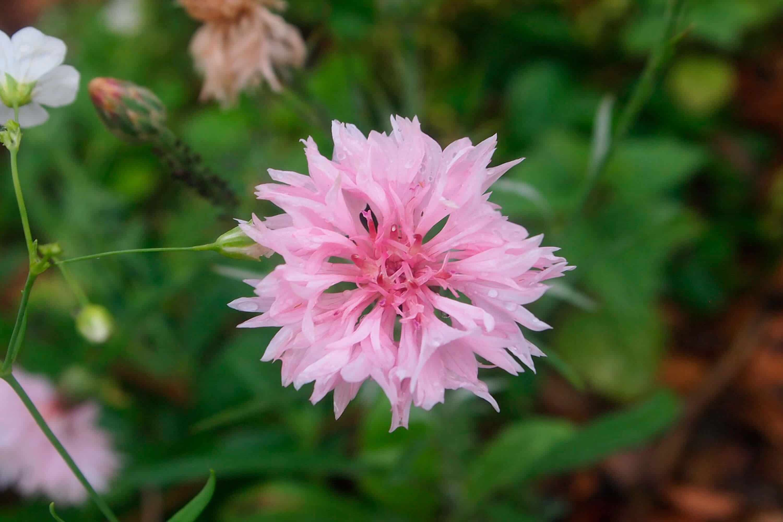 aciano-rosado flor muy rara