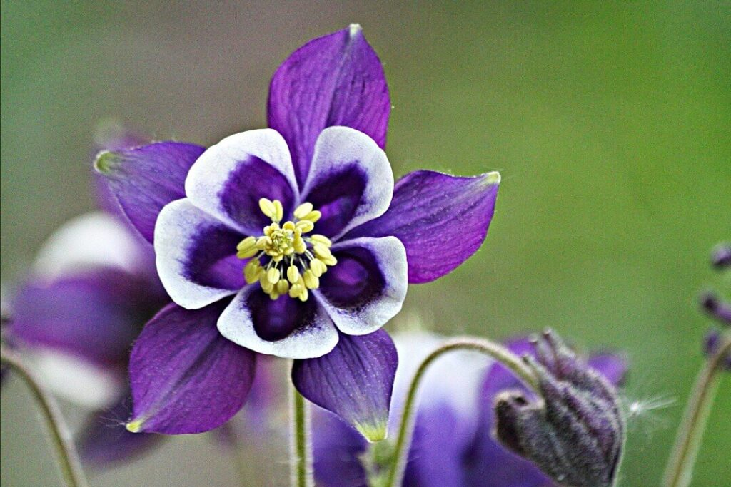 aguilena flor rara exotica