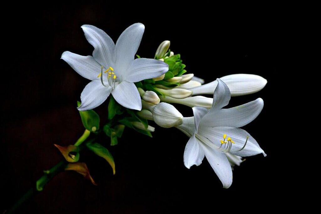azucena flor rarísima