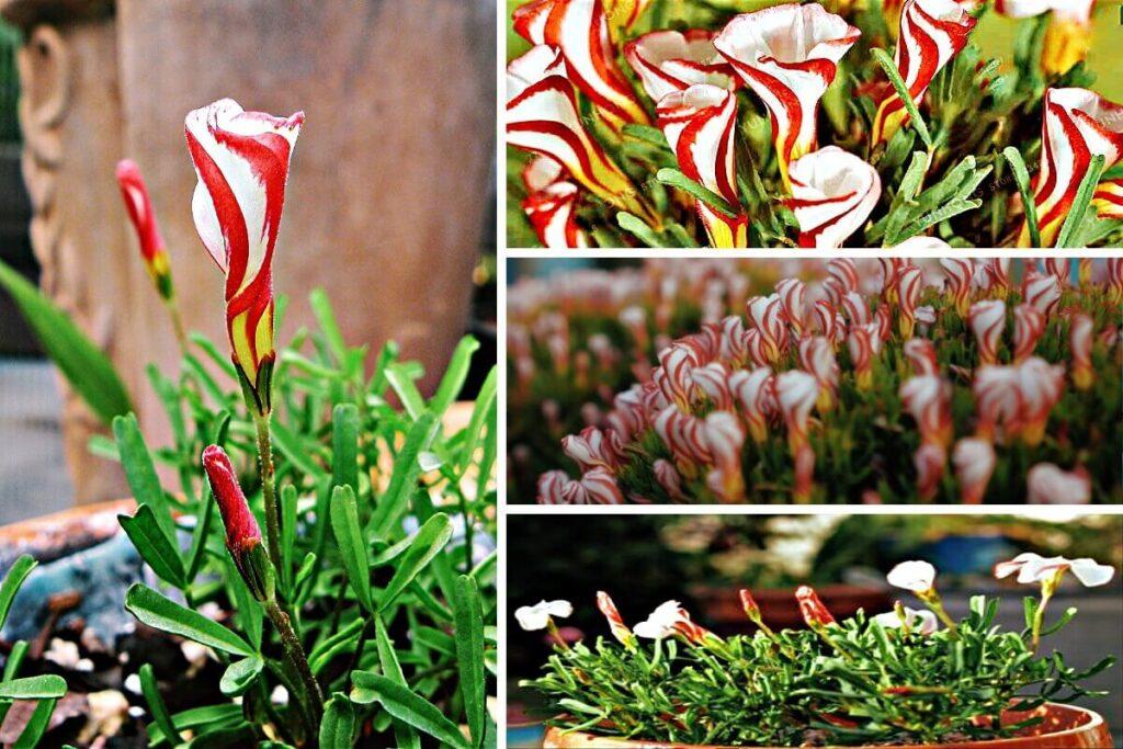 flor candy-cane exotica