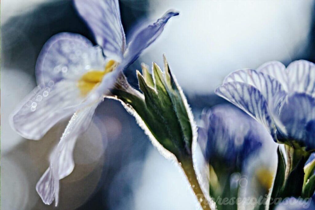 cebra-azul flor rarísima