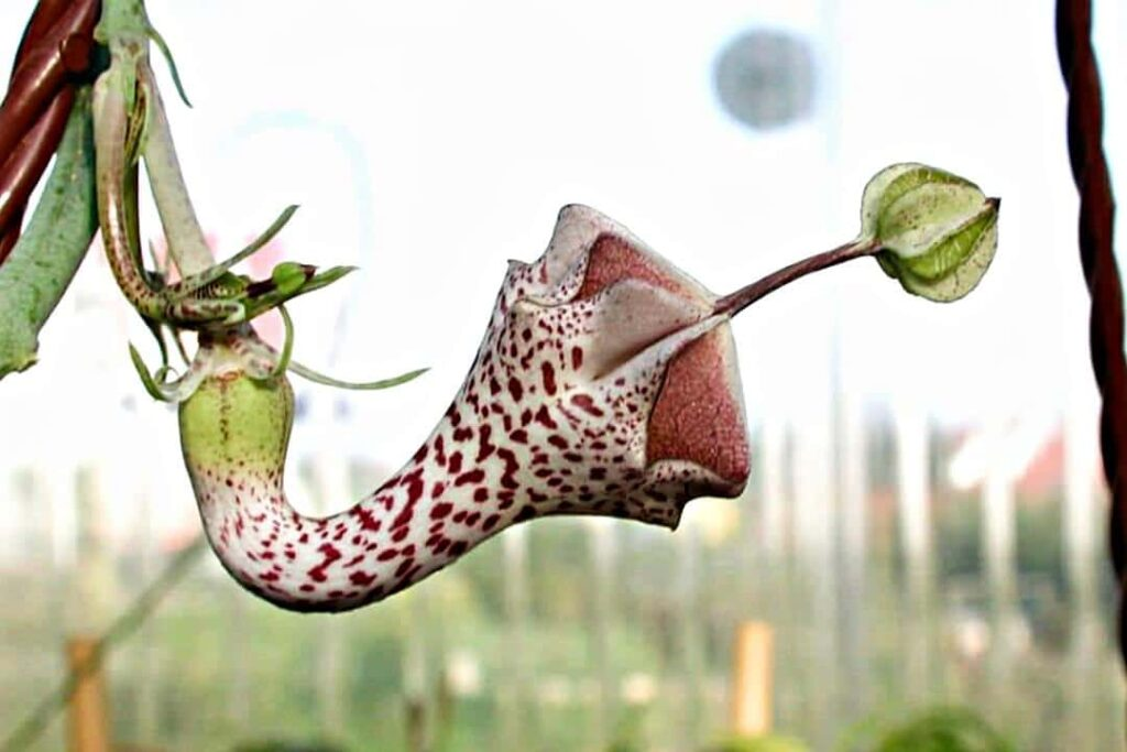 ceropegia-haygarthii flor rarísima