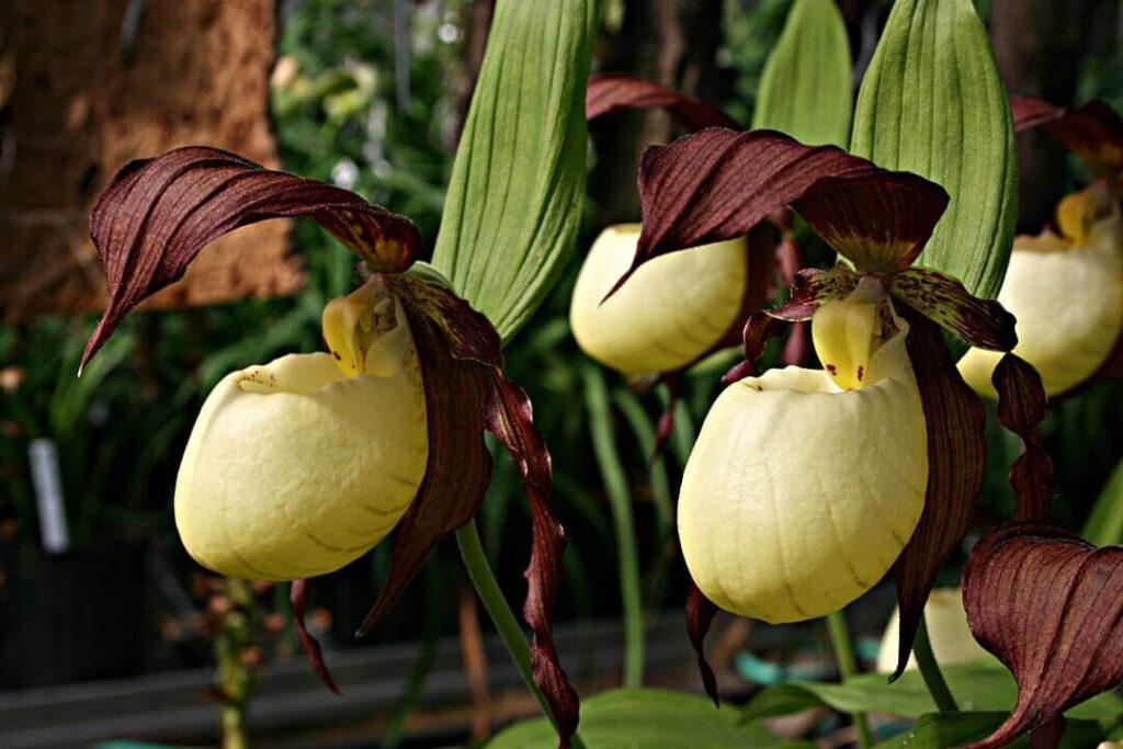 cypripedium-kentuckiense-flor exotica