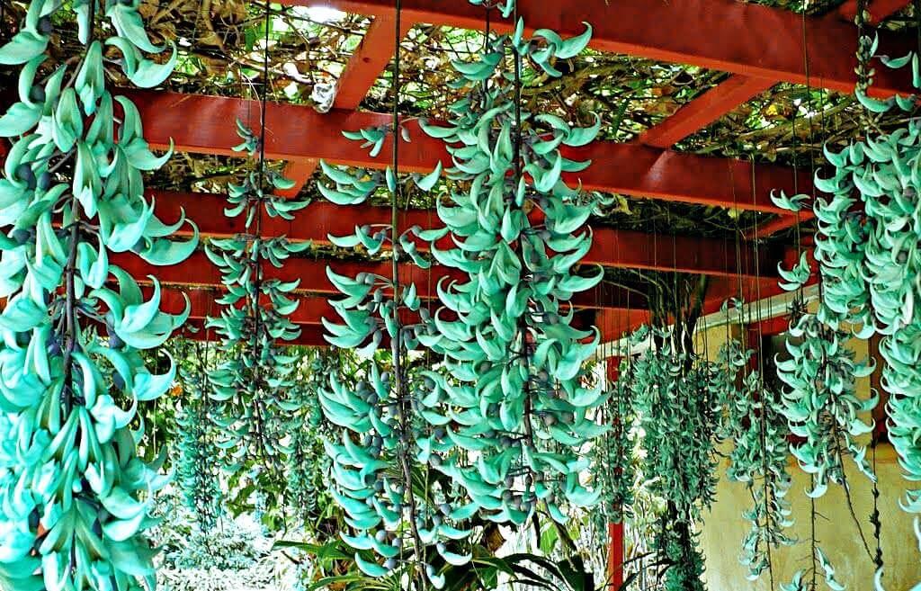flor-de-jade rara grande