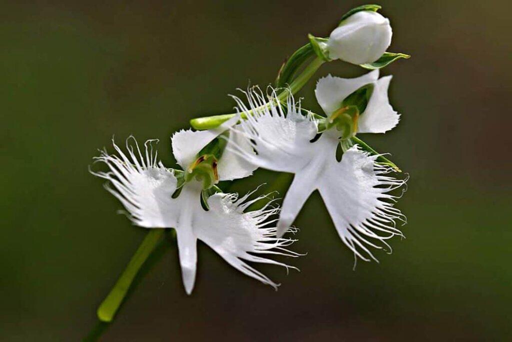 flor-de-la-garza-blanca flor muy exótica del mundo