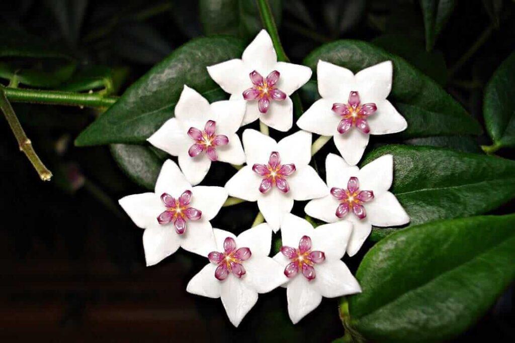 flor-de-porcelana rara