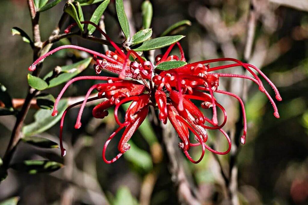 grevillea-speciosa flor exotica