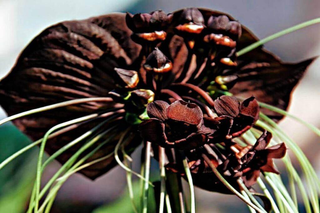 murciélago flor rara