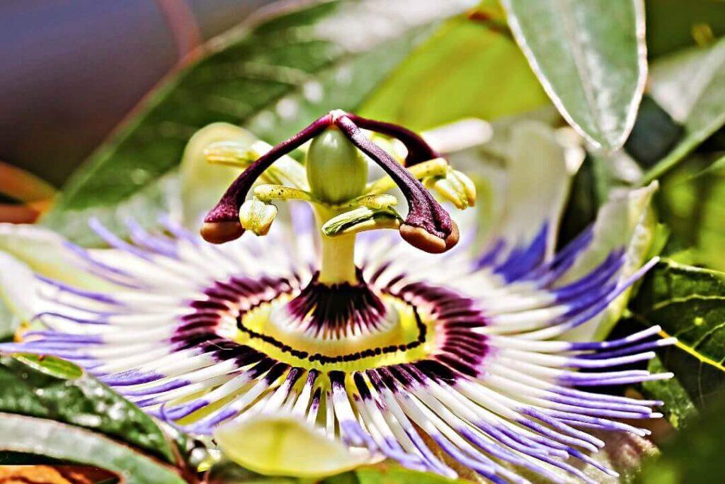 pasiflora flor rara