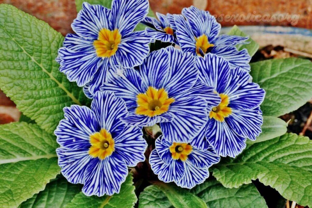 primula flor extraña