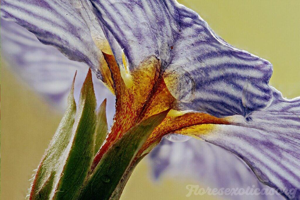 zebra-blue-flor exotica