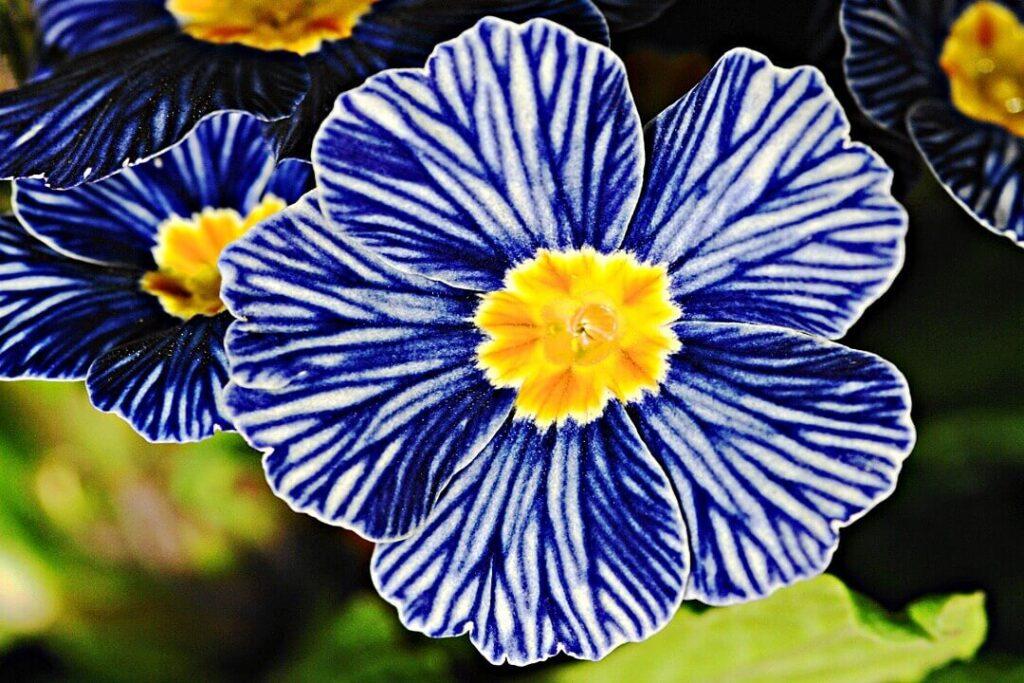 zebra-blue-flor flor rara